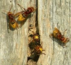 European Hornet Cumming
