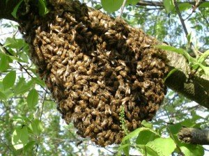 honeybee swarm in cumming georgia