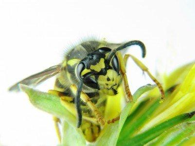 yellowjacket hive removal