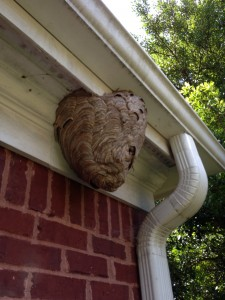 Alpharetta Bald Faced Hornet Nest